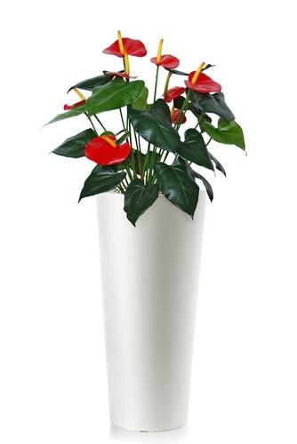 Anthurium 110 cm Green Red